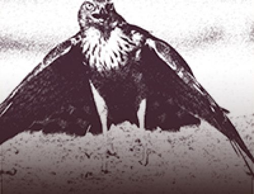 The Hawks Surrender